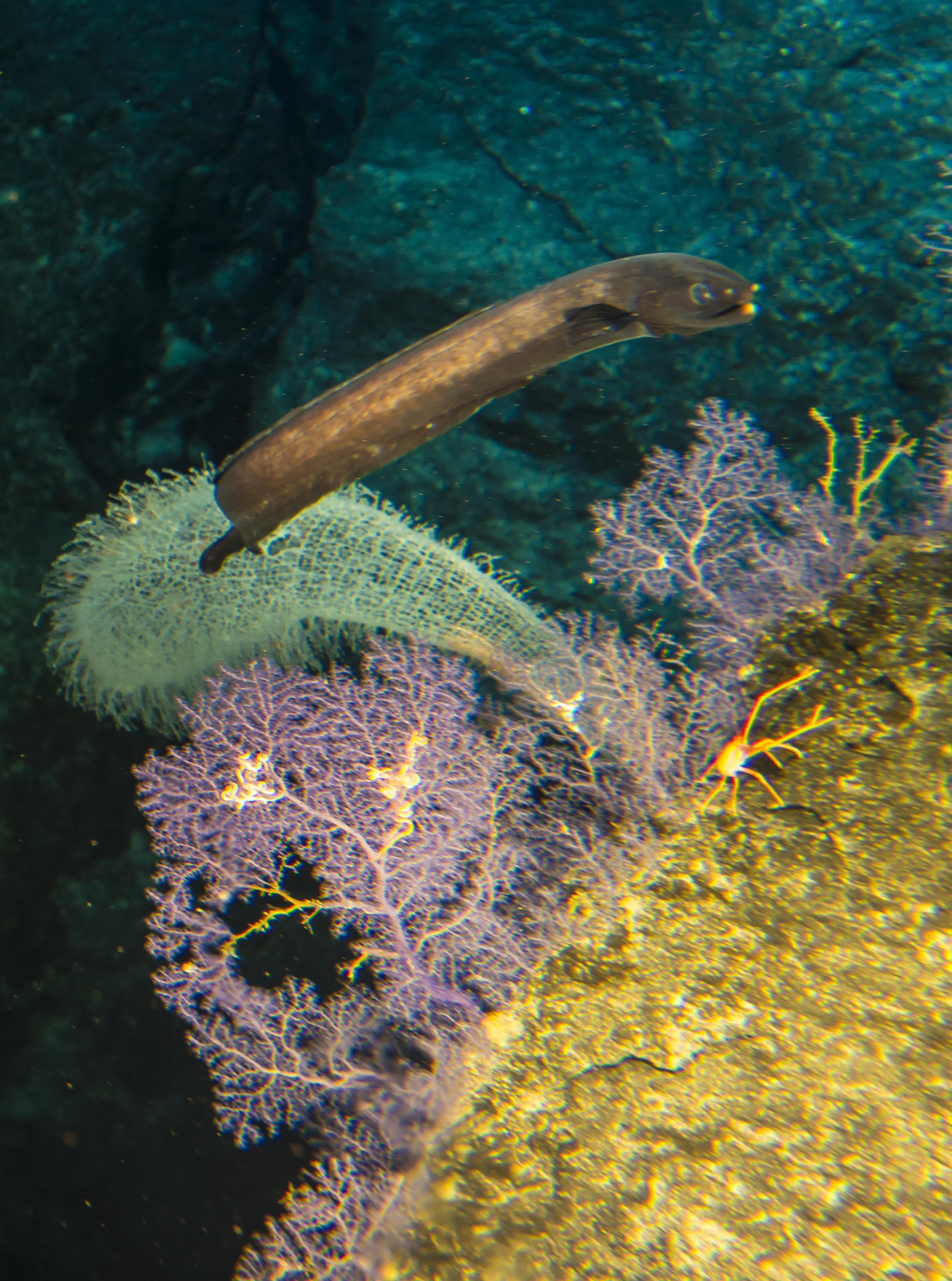 cook seamount coral eel purple haze