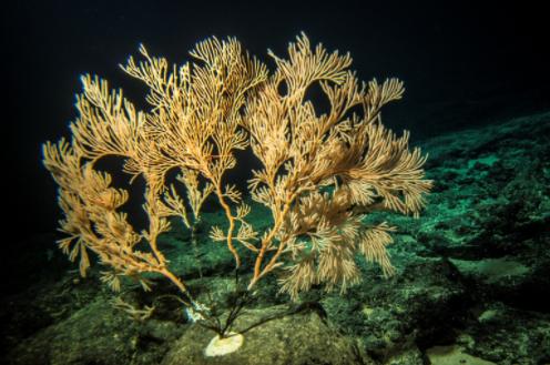 coral deep-sea seamount